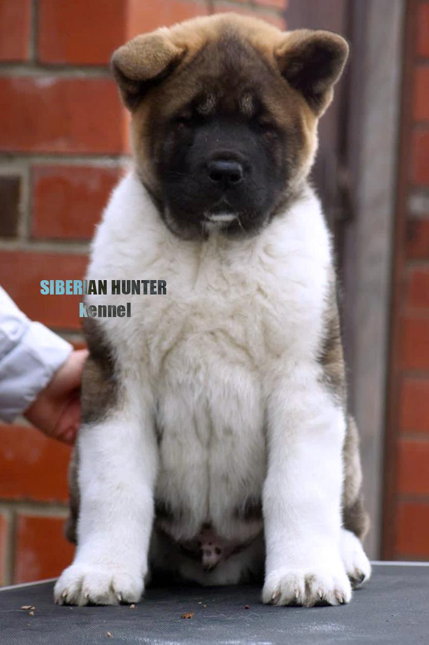 American Akita puppy ::: щенок Американская акита