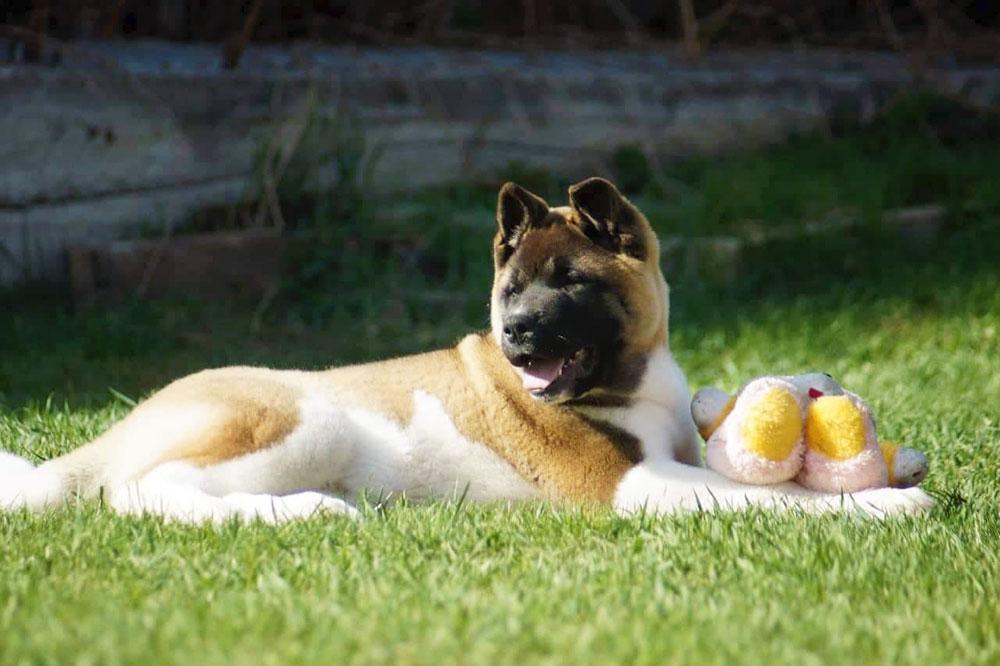 American akita puppy ::: Щенок американская акита ::: 4 мес