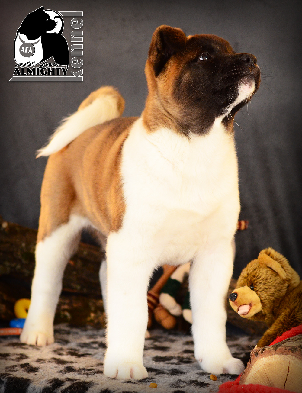 #bestakitapuppies #akitaamericano #kennel #akitakennel #akitamoscow #puppiesavailable #newakitalitter #dogforshow #kennelakita #dogshow # worlddogshow #NDS #FCI-dogs #pedigree #akitabreeder #almightykennel #dogphoto #bestdogsphoto #IDS