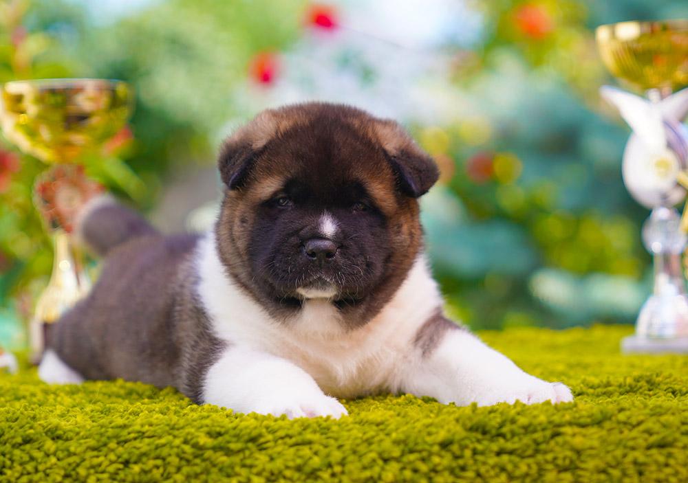 American Akita puppy male(2) 1 month old ::: Щенок американской акиты кобель 1 мес