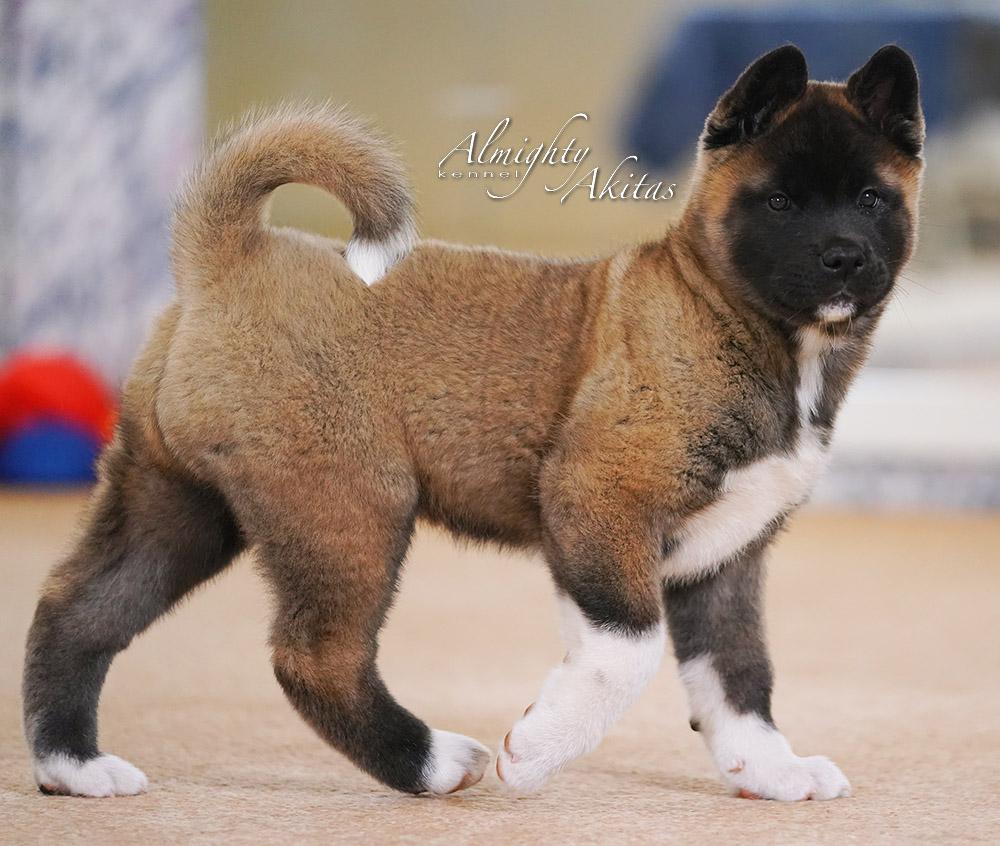 American akita puppy, AFA HONEST SOUL, female, 2 mon