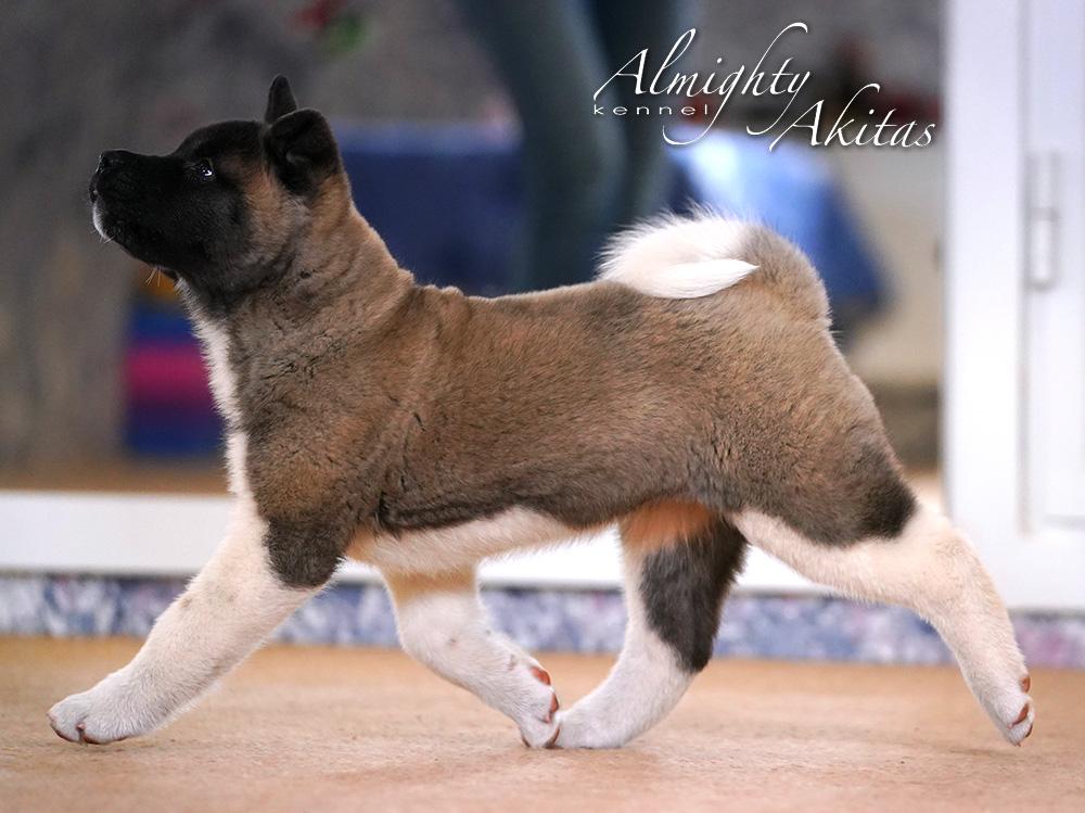 Щенок американской акиты, AFA HAPPY HUNTER, девочка, 2 месяца