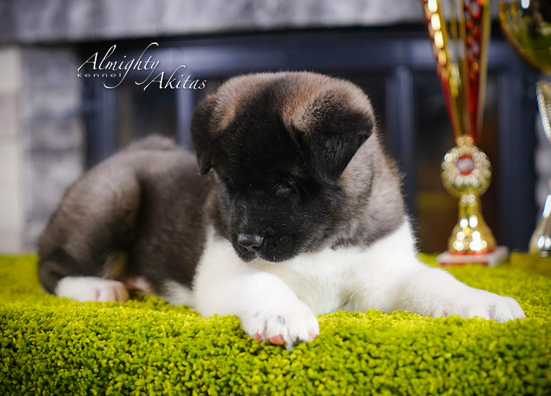American akita puppy, AFA HERMES TRISMEGIST, male, 6 weeks