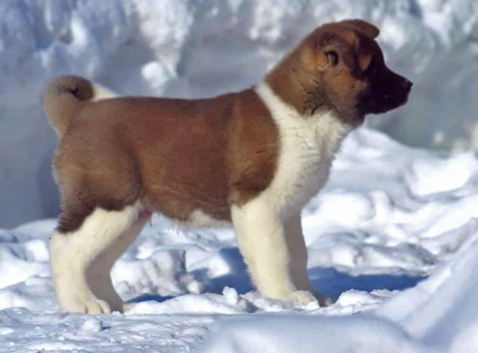 American Akita puppy SIBERIAN HUNTER OTHELLO