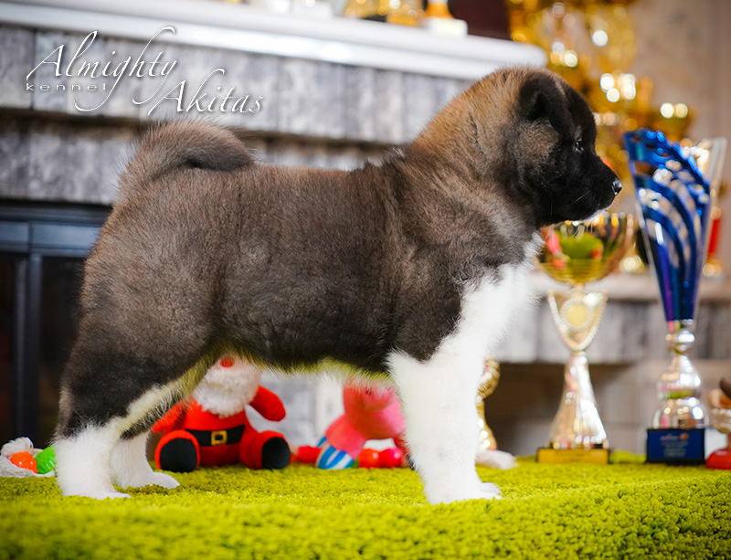 American akita puppy, AFA HURRICANE EYE, female, 6 weeks
