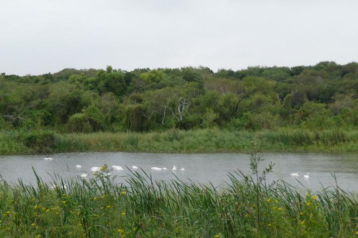 Wilde Vögel auf dem Fluss.