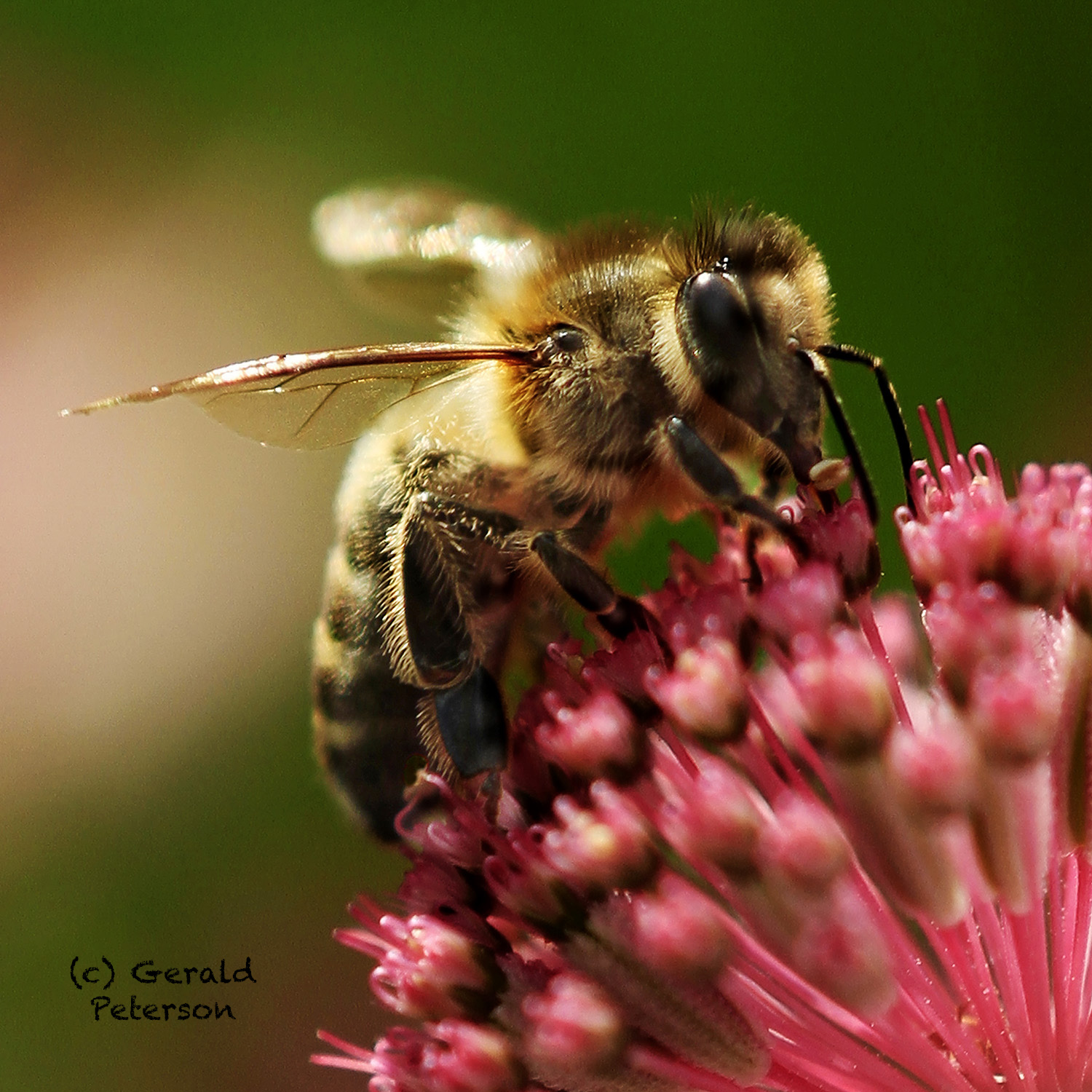 Bee drinking some nectar