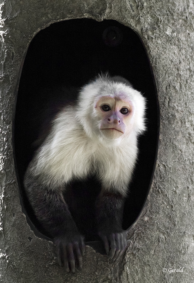White-headed Capucin monkey - 1