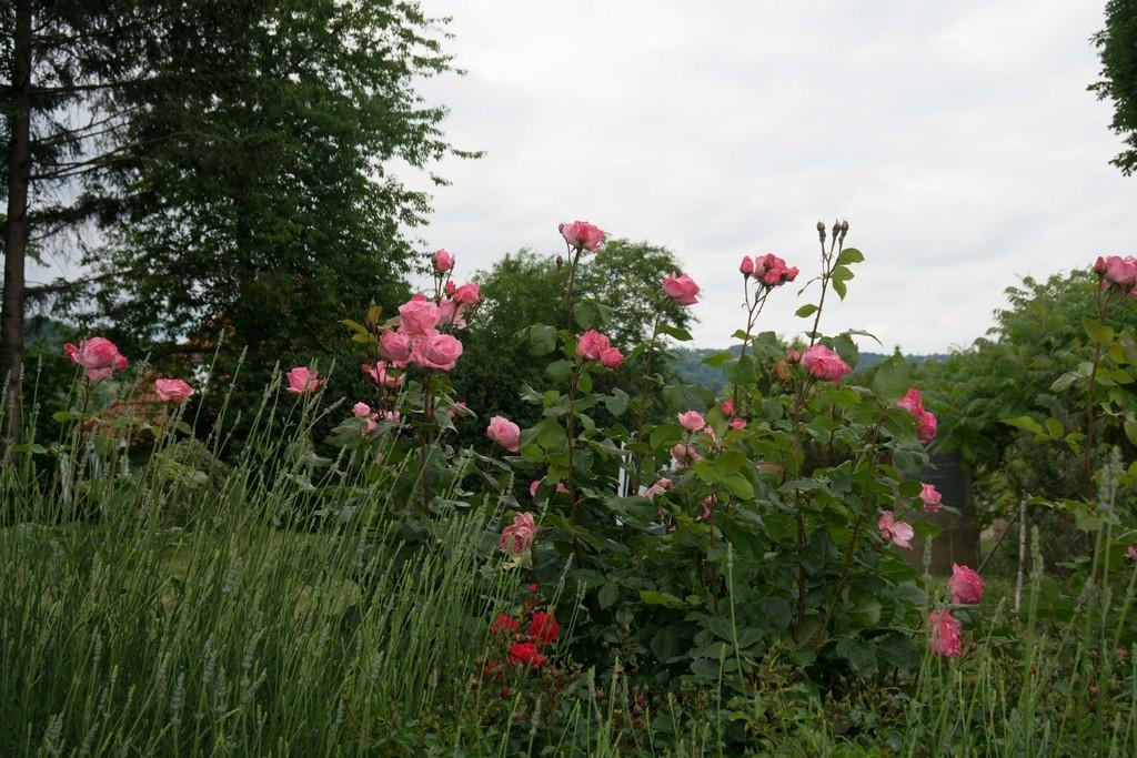 Gedenktafel von herrlichen Rosen umsäumt
