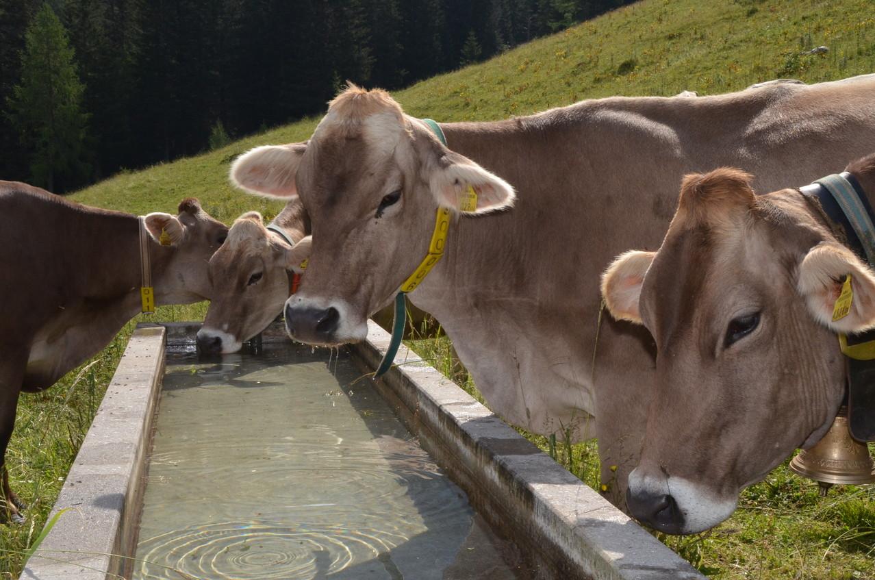 Kühe bei der Tränke