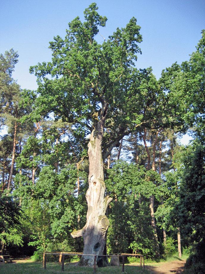 Tausendjährige Eiche bei Löcknitz