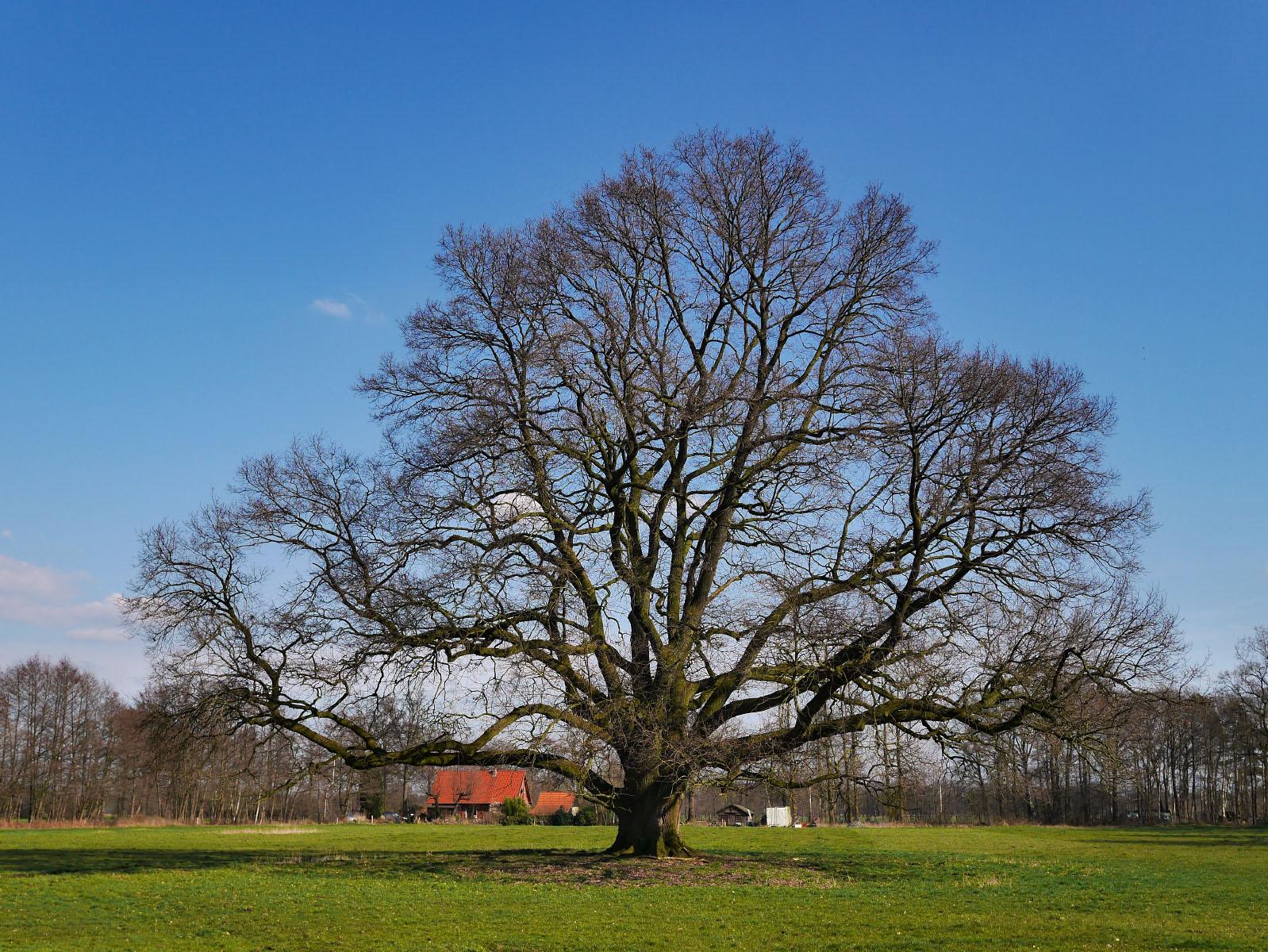 Eiche bei Niederdorf
