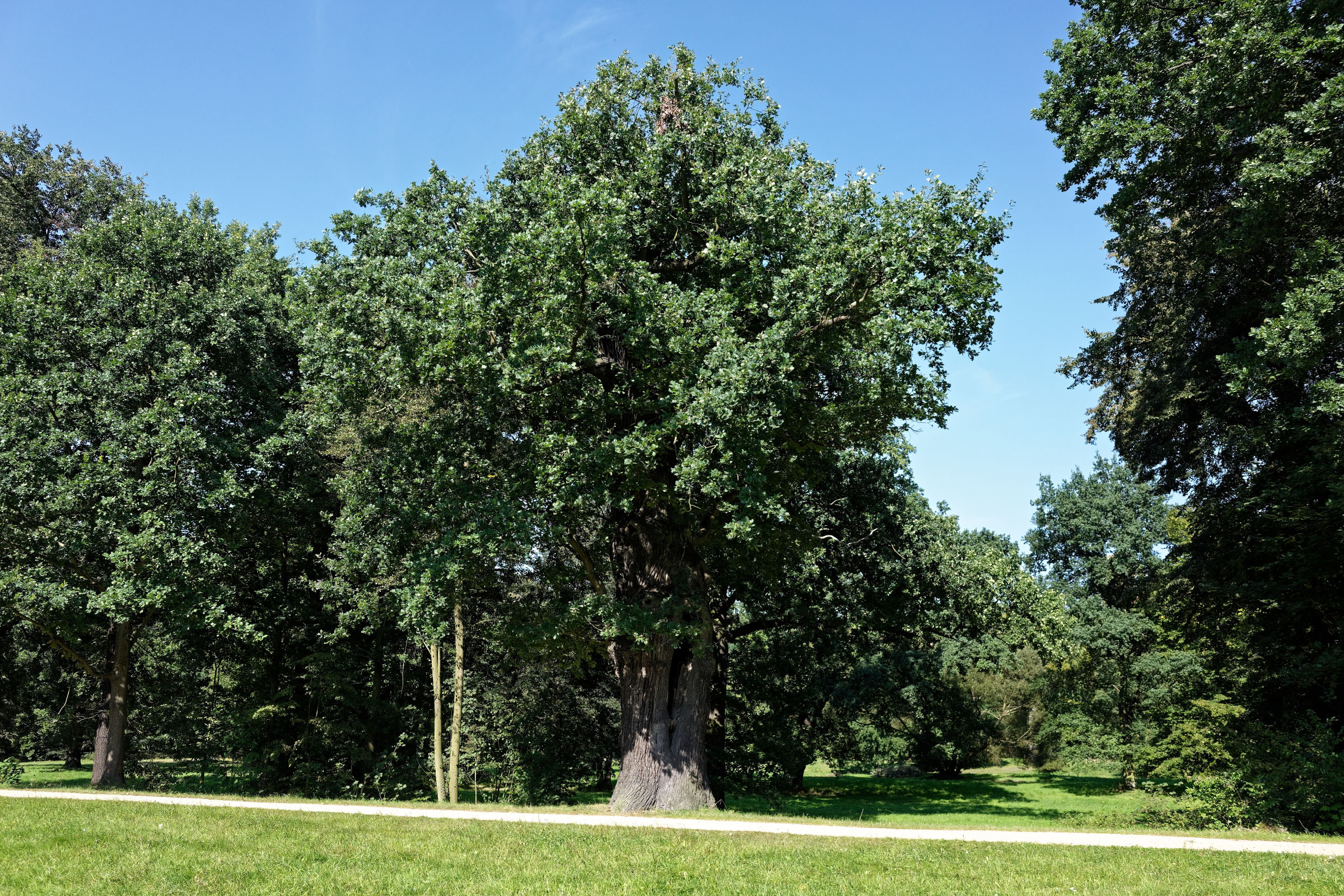 Eiche im Fürst-Pückler Park in Bad Muskau