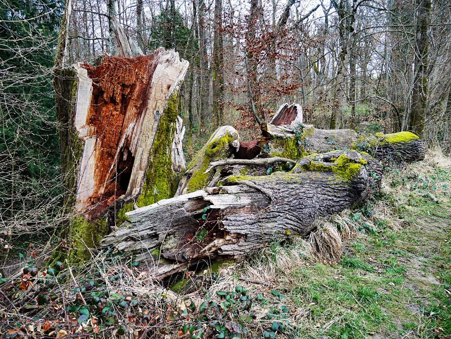 Eiche beim Sengelwäldchen bei Schopfheim
