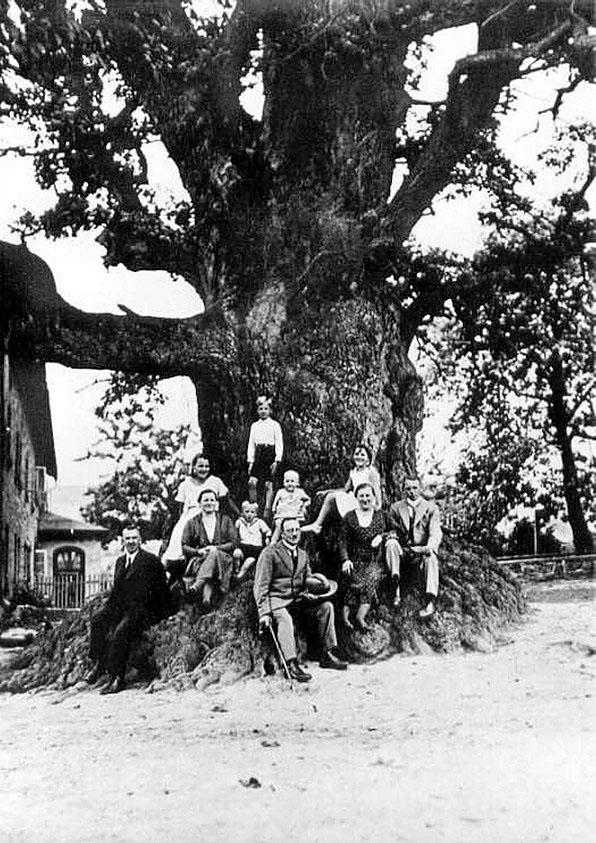 Tausendjährige Eiche von Göstrup, um 1930