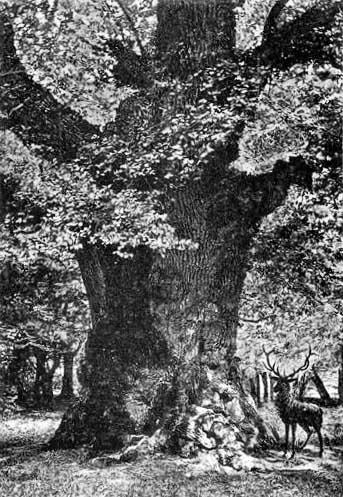 Amalieneiche um 1906, Ansichtskarte