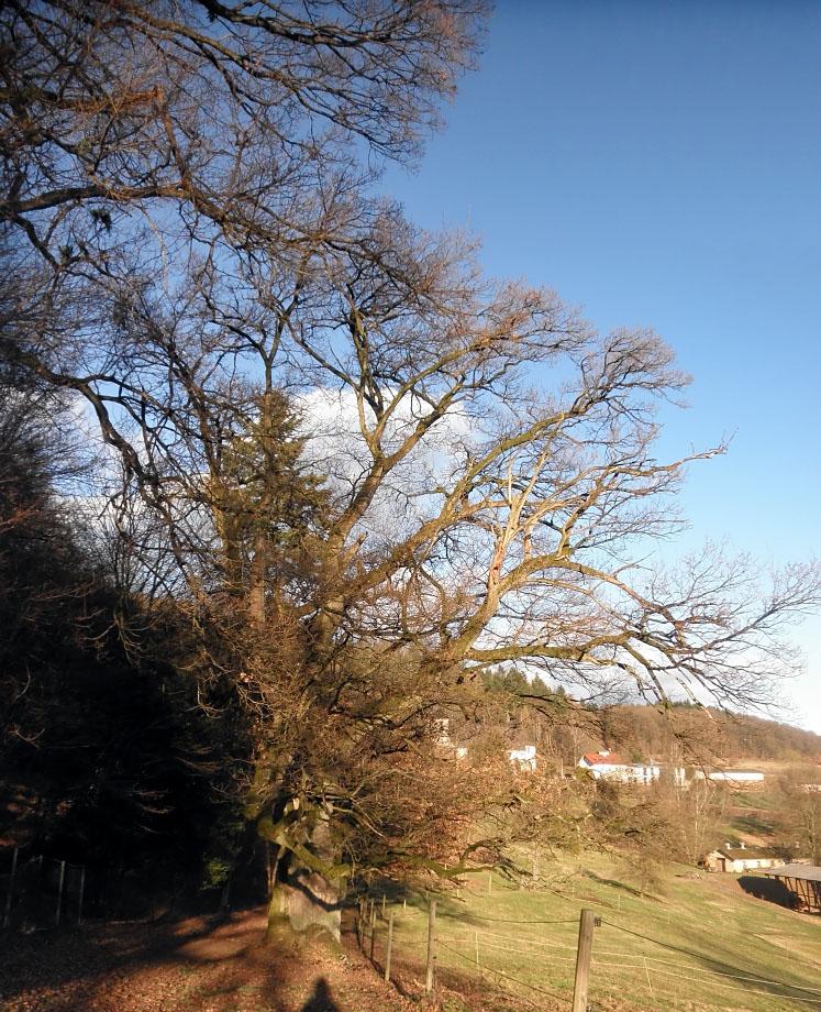 Eiche beim Hofgut St. Gangolf bei Mettlach