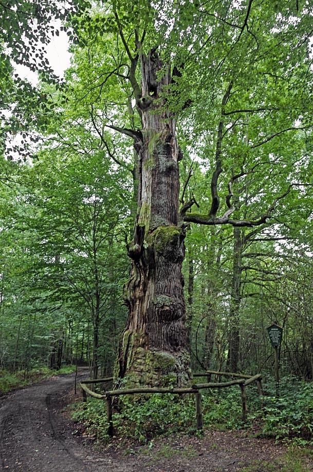 Rieseneiche im Sauerbusch bei Langebrück