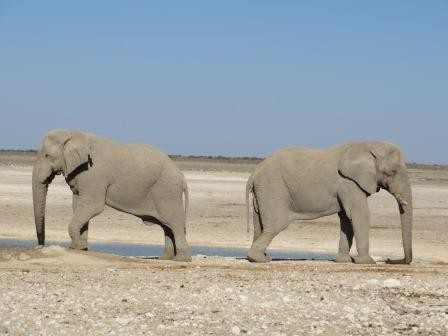 Etosha Nationalpark - posende Elefanten