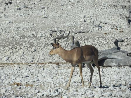 Etosha Nationalpark - Impala
