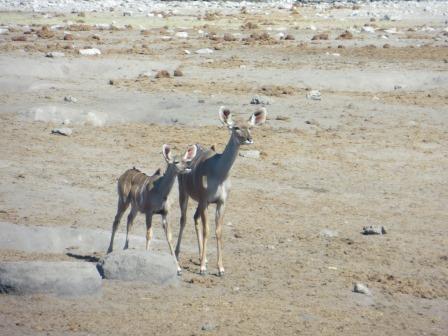 Etosha Nationalpark - neugierige Kudus