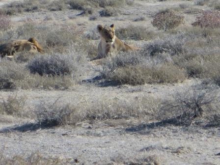Etosha Nationalpark - Löwen