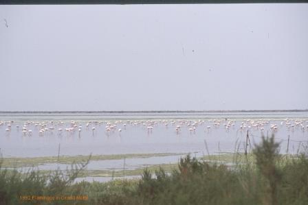 Flamingos bei Grand Motte