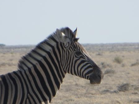 Etosha Nationalpark - Zebra