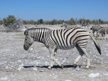 Etosha Nationalpark - Zebras