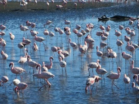 Flamingos in Walvis Bay