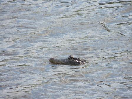 Alligator im Myakka River State Park