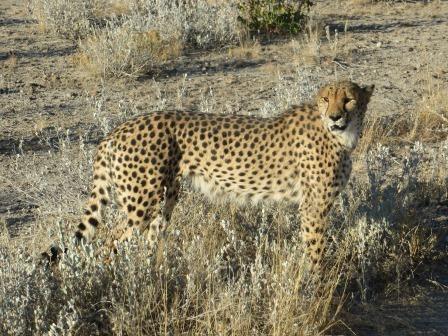Geparden auf dem Farmgelände