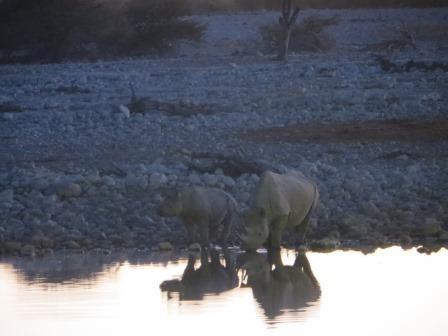 Nashörner am Okaukuejo Wasserloch