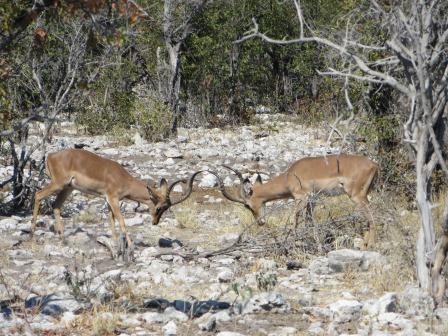 Etosha Nationalpark - Impalas