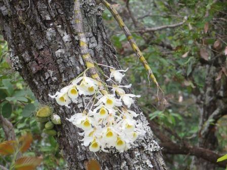 Die Baumorchideen...