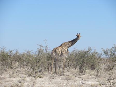 Etosha Nationalpark - Giraffe