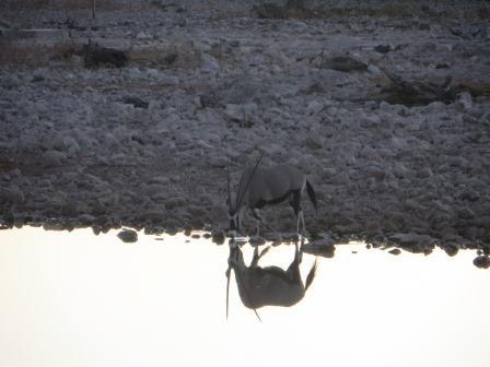 Oryx am Okaukuejo Wasserloch