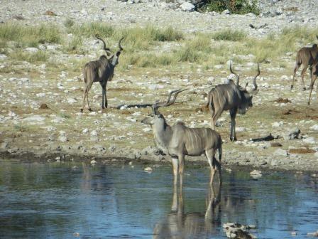 Etosha Nationalpark - Kudu