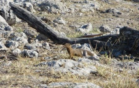 Etosha Nationalpark - Fuchsmanguste