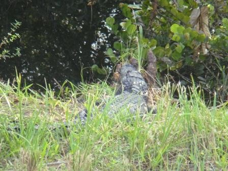 Alligator!!!