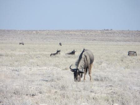 Etosha Nationalpark - Gnus
