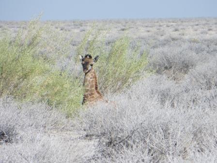 Etosha Nationalpark - Baby-Giraffe