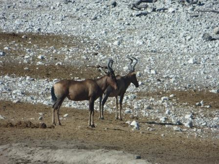 Etosha Nationalpark - Kuhantilopen