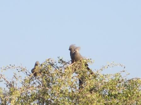 Etosha Nationalpark - Graulärmvogel