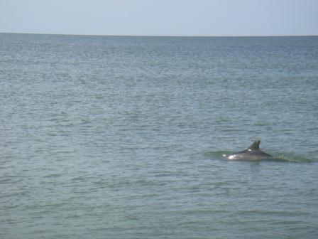 Delfine auf Sanibel Island