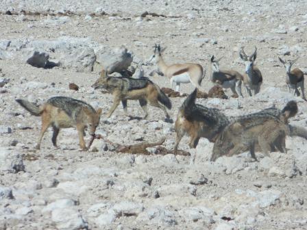 Etosha Nationalpark - Schakale fressen ein Kudeweibchen