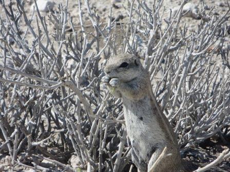 Etosha Nationalpark - Erdhörnchen