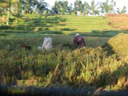 Arbeiter in den Reisfeldern