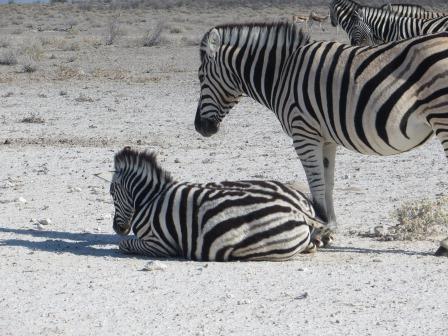 Etosha Nationalpark - Baby-Zebra