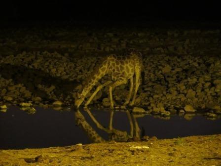 trinkende Giraffe am Okaukuejo Wasserloch